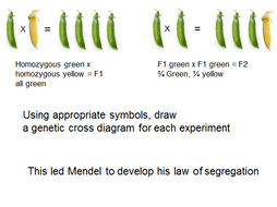 A level presentation on Monohybrid inheritance and exam style questions
