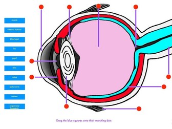 Diagram of the eye drag & drop