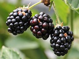 blackberry picking poem