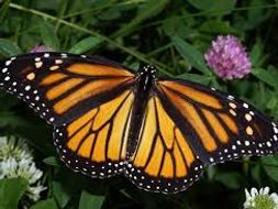 Animal Migration - Monarch Butterflies Differentiated Worksheets including answers!