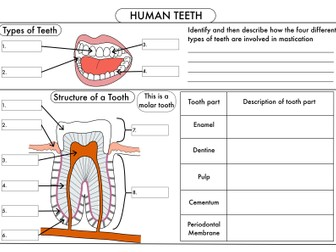GCSE Digestion, Teeth, Enzymes and Absorption Bundle