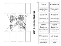 Leaf Structure: Create a Labelled Diagram (KS3/SEN) by