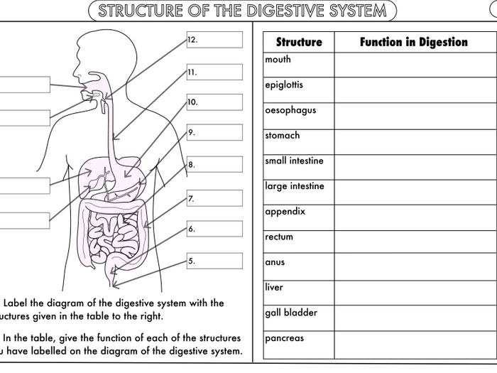 Endocrine System Worksheet For Students – Human Body Coloring Book