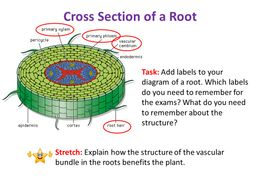 Water Movement in Plants (Through roots & Xylem - Adhesion / Cohesion) - OCR AS/A Level Biology