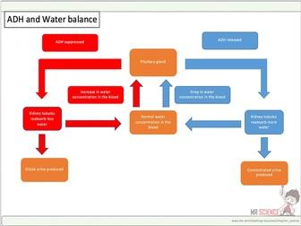 ADH and water balance
