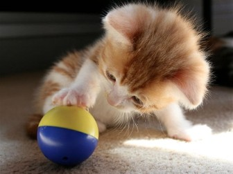 Ginger Kittens and Cat: Animals and Pets