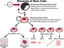KS4 B2.3 Stem Cells
