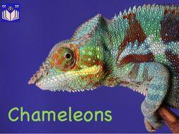 Chameleons - fascinating facts
