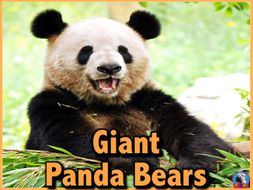 Giant Panda Bears - PowerPoint and Activities