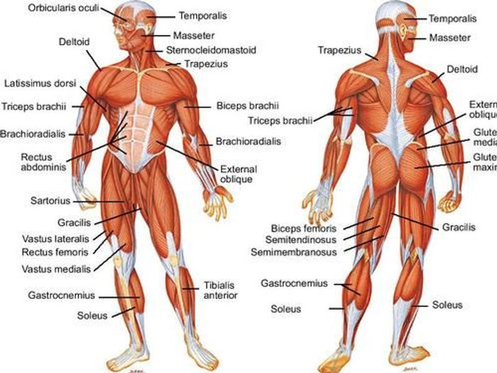HUMAN MUSCULAR SYSTEM SCIENCE EDUCATION HUMAN ANATOMY MUSCLE BICEPS