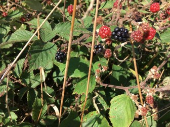 Blackberries: Plants and Fruits