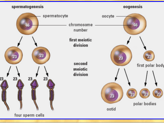 Cell Division (Mitosis & Meiosis - Abnormal Meiosis: Nondisjunction)