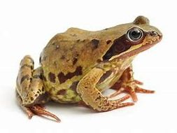 Life cycle of the common frog