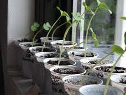 NEW AQA Biology GCSE Required Pract Revision 8 Effect of light or gravity on germinating seedlings