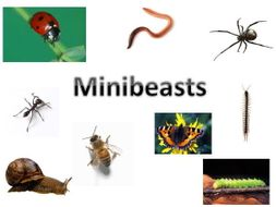 Minibeasts PowerPoint and Millionaire Quiz