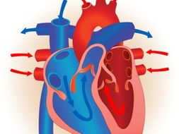 Edexcel New GCSE PE 9-1. Heart Diagrams. | Teaching Resources