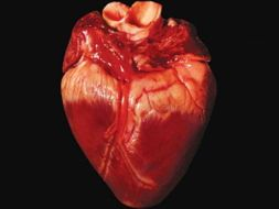 CB8c Edexcel - The heart