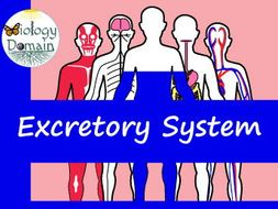 Human Body: Excretory System Crossword and Word Search