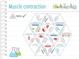 Muscle-contraction---Tarsia.pdf