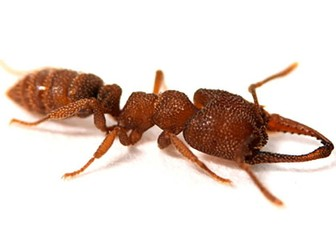 Dracula Ants- Year 6  10 minute Reading Comprehension