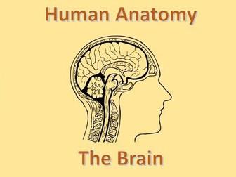 Human Anatomy Quiz: Brain