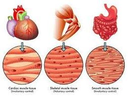 BTEC Level 3 Unit -1 Principles of Anatomy and Physiology Types of Muscle