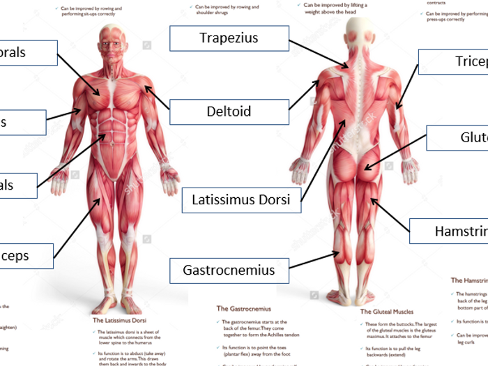 Muscular System Diagram Bbc Trusted Wiring Diagram