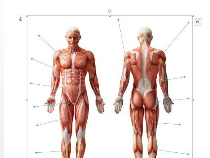 edexcel new gcse pe 9 1 muscles of the body diagram and separate rh tes com
