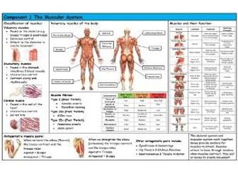 GCSE PE – Edexcel (9-1) – Muscular System - Knowledge Organiser/Revision Mat