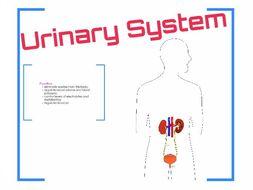 Urinary System Prezi