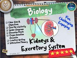 Kidneys & Excretory System
