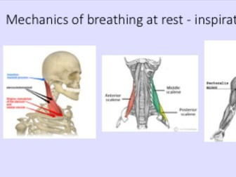 A-Level PE - Respiratory System