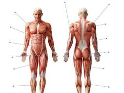 Aqa new gcse pe 9 1 muscles of the body diagram and separate sheet muscles of the body diagram and separate sheet ccuart Image collections