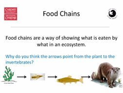 KS2/3 Food chains featuring otters