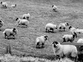 Sheep: Animals and Farming