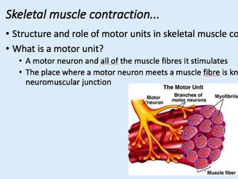 A-Level PE Skeletal Muscle Contraction