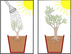 Van Helmont's Investigation into plant growth. KS3 or GCSE.