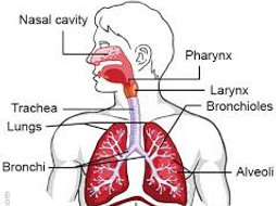Gcse pe respiratory system by rileyp86 teaching resources tes gcse pe respiratory system ccuart Choice Image